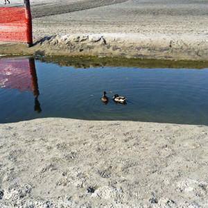 Дикі качки на пляжі, точніше в рівчаку для дождьової води, призначення якого мені не зрозуміле.